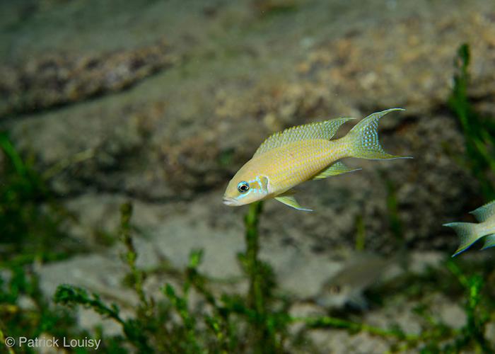 Une aventure unique : les poissons du lac Tanganyika ! - C6Bo Voyage blog plongée