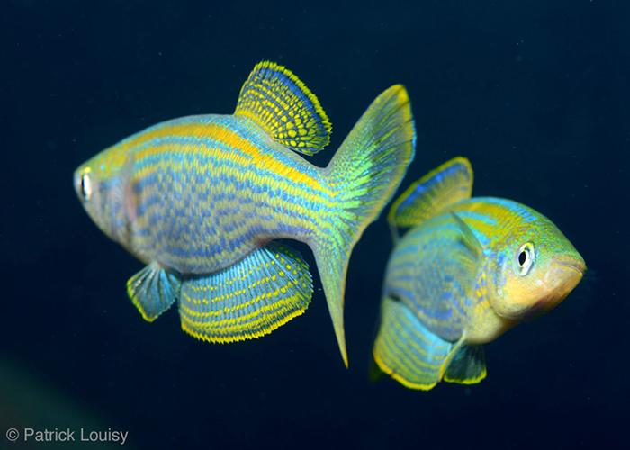Lamprichthys tanganicans - C6Bo Voyage blog plongée