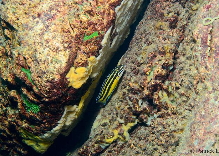 Julidochromis marksmithi - C6Bo Voyage blog plongée